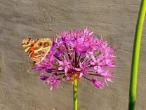 Butterfly On Purple